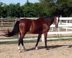 thoroughbred race horse