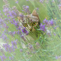 grey cat lavender plant