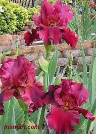 Tall Bearded Iris 'Dynamite' (Iris germanica) by helga Iris Flowers, Exotic Flowers, Amazing Flowers, Planting Flowers, Beautiful Flowers, Iris Garden, Garden Plants, Bearded Iris, Bearded Men