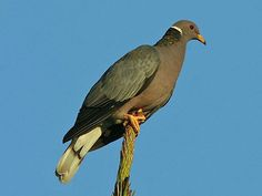 Band-tailed Pigeon (Patagioenas fasciata) by Greg Smith