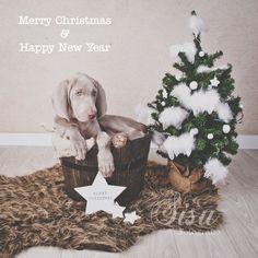 weimaraners, dog, weimaraners, Seb, www.sisudesigns.nl, grey ghost, x-mas, Christmas, kerst, happy new year, jaar