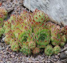 Sempervivum tectorum var. pyrenaicum