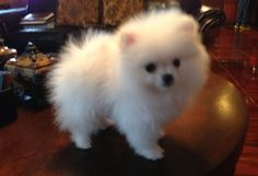 Marvelous Pomeranian Does Your Dog Measure Up and Does It Matter Characteristics. All About Pomeranian Does Your Dog Measure Up and Does It Matter Characteristics. White Pomeranian Puppies, Cute Puppies, Cute Dogs, Dogs And Puppies, Dogs 101, Fluffy Animals, Baby Animals, Cute Animals, Best Dog Breeds