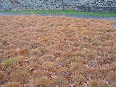 Sporobolus heterolepis - prarie dropseed