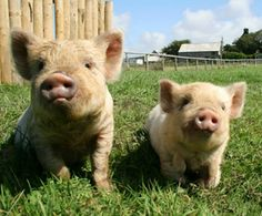 cute little pig family