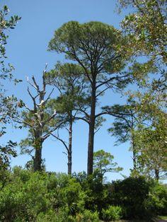Pines of Honeymoon Island