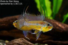 ... aquarium on Pinterest Cichlids, Aquarium and Freshwater aquarium