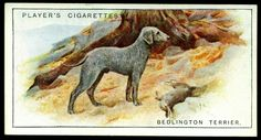 Cigarette Card - Bedlington Terrier