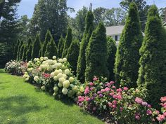 Classic elegance with tow types of hydrangea and roses against a backdrop of American Arborvitae. Arborvitae Landscaping, Landscaping Along Fence, Hydrangea Landscaping, Outdoor Landscaping, Outdoor Gardens, Landscaping With Roses, Garden Planning, Lawn And Garden, Garden Inspiration