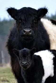 Belted Galloway Cow & Calf also known as Oreo cows. Farm Animals, Animals And Pets, Cute Animals, Wild Animals, Strange Animals, Beautiful Creatures, Animals Beautiful, Galloway Cattle, Fluffy Cows