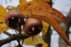 Decemberben is gyümölcsöt! – A naspolya Izu, Fruit, Food, Hoods, Meals