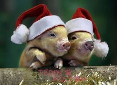 Solve Animaux célébrant jigsaw puzzle online with 80 pieces Pet Pigs, Baby Pigs, Animals And Pets, Baby Animals, Cute Animals, Christmas Animals, Christmas Cats, Merry Christmas, Vegan Christmas