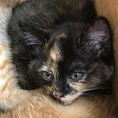 Pictures of Softy a Domestic Shorthair for adoption in Bastrop, TX who needs a loving home. Bastrop Texas, Kittens, Cats, Pet Adoption, Safari, This Is Us, Meet, Pictures, Animals