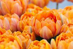 Tulipa Orange Princess, Tulip 'Orange Princess', Double Late Tulip 'Orange Princess', Double Late Tulips, Spring Bulbs, Spring Flowers, Tulipe Orange Princess,  Orange Tulips, Late spring tulips, Tulipes Doubles Tardives