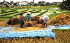 Farming Bali