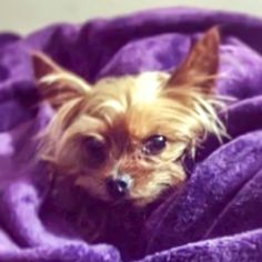 Lost Dog - Yorkshire Terrier Yorkie - Macedonia, OH, United States 44056