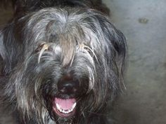 Badger is an adoptable Giant Schnauzer Dog in Shelbyville, IN. Badger and his BFF Toby along with their feline friend Scrappy were all relinquished to the shelter today, July 24th by the same family.�...