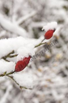 Red berries covered in snow Red Berries, Snow, Projects, Log Projects, Blue Prints, Eyes, Let It Snow