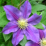 Carnival Clematis