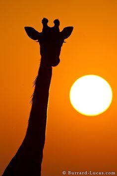 Giraffe eyelashes! ejafrica.com photo cred: burrard lucas