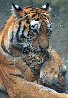 Tigers - Angara & Fedor @ Dierenpark Amersfoort | Flickr - Photo Sharing!
