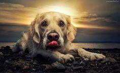 Pies, Język, Kamienie, Zachód Słońca