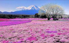 富士 芝桜 (1280×800)