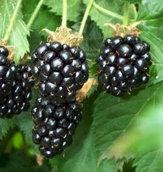 Freshed-picked blackberries, warm from the sun, sprinkled with sugar and covered in cream