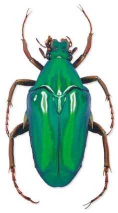 Beetle. Look at that green, isn't it just amazing?
