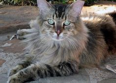 This cat is being cared for in a loving KS Foster Home.Askum is a beautiful 8 year old Main Coon/Ragdoll we think. We think because when held he goes limp. He is a 12 lb charmer who was originally adopted from the SPCA by a family but later put...