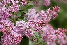 Imagini pentru soiuri de liliac de gradina Liliac, Flowers, Plants, Red, Plant, Royal Icing Flowers, Flower, Florals, Floral