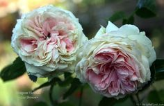 'Pompon Veranda ' Rose Photo