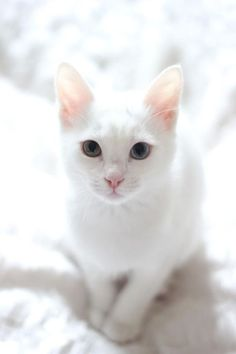 White kittens blue eyes & weiße kätzchen blaue augen & chatons blancs yeux bleus & gatitos blancos ojos azules & white kittens fluffy, white kittens blue eyes, black and white kittens, tiny white… Cute Cats And Kittens, I Love Cats, Crazy Cats, Kittens Cutest, Ragdoll Kittens, Tabby Cats, Funny Kittens, White Kittens For Sale, Grumpy Cats