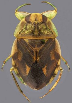 Ambrysus cayo, a species of creeping water bug
