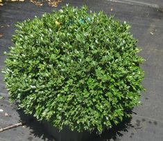'Green Velvet' Boxwood is a very hardy selection from Sheridan Nurseries in Canada. Glossy evergreen foliage on a round maintenance-free shrub.