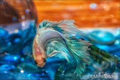 Fluffy The Betta Fish