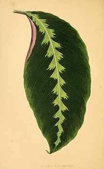 Calathea warscewiczii (L. Mathieu ex Planchon) Körn. [as Maranta warscewiczii L. Mathieu ex Planchon]  / Rothschild, J., Les plantes a feuillage coloré [original ed. E.J. Lowe and W.  Howard, Beautiful leaved plants (1861)], vol. 1: t. 17 (1867)