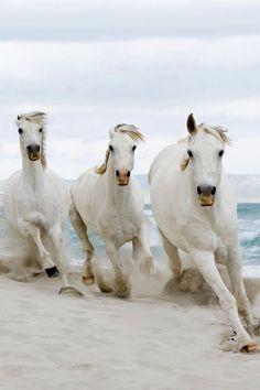 Wild white horses galloping across the white sandy beaches!