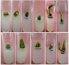 Developmental stages of mature bud in MS+4 mg L-1 BAP+100 ADS, (a) Mature bud, (b) White bud turns green in 1 week, (c-d) Multiple bud induction, (e-f) 1 month old plant and (g-k) Mature bud dried, but in march new bud arises and roots and shoots simultaneously developed in the culture