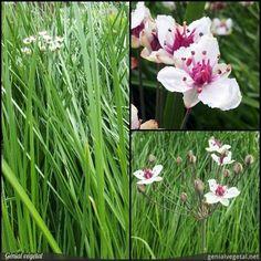 Plante vivace de la famille des Butomacées (Butomaceae), aux feuilles : touffe, simple - limbe unique, et fleur : ombelle, blanche ou rose.