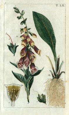 Gottlieb Tobias Wilhelm Botanical Copper Engravings 1810