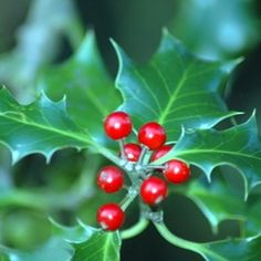 Holly bushes provide winter cover for birds and other animal visitors.