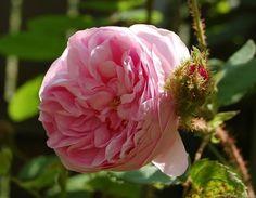 'Muscosa' Rose Photo