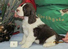 Northgate Springers - Puppy Photos