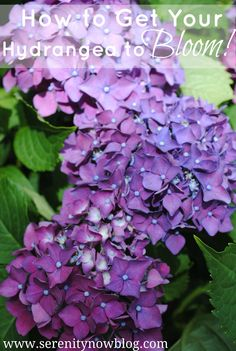 Serenity Now Blog.com: How to Get a Hydrangea Plant to Bloom.  Test the soil with a $2 kit.  Add Aluminum Sulfate if soil is not acidic enough.