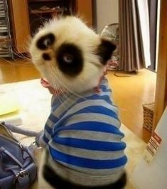 panda cat. oh. my. WORD!!!