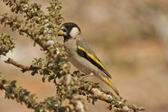 SOCOTRA GOLDEN-WINGED GROSBEAK Rhynchostruthus socotranus  Yemen's national bird and fairly easily found in the higher areas with trees, especially those with fruit. A visit to Wadi Denegen, the highlands at Skand or Wadi Ayhaft should easily locate it.