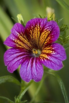 "Salpiglossis or ""Painted Tongue"" Unusual Flowers, Wonderful Flowers, Pretty Flowers, Purple Flowers, Lilies Flowers, Tropical Flowers, Yellow Roses, Pink Roses, Plante Carnivore"