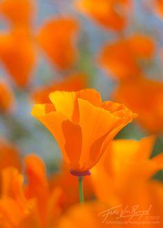 California Poppy, Mount Diablo State Park, CA.  Photo: Floris Van Breugel