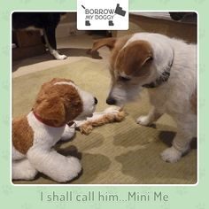 I shall call him...Mini Me! #DoggyMember Ruisg
